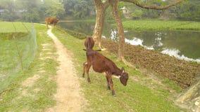 某一村庄母牛 库存图片