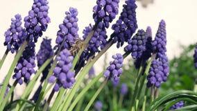 某一紫罗兰色葡萄风信花在庭院里 影视素材