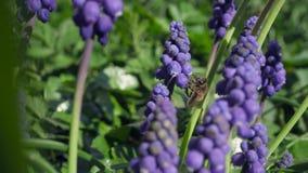 某一紫罗兰色葡萄风信花在庭院里