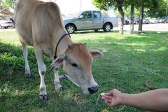 某人哺养对母牛 免版税库存图片