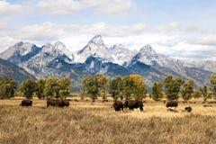 某处爱达荷最野生的野生谷仓北美野牛水牛 库存照片