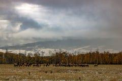 某处爱达荷最野生的野生谷仓麋 免版税库存照片