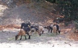 某处长毛的山羊牧群在南欧 库存照片