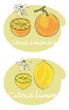 柑橘文件向量 免版税库存图片