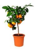 柑橘标准乔木利马rossa 免版税库存图片