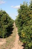 柑橘树丛线索 库存图片