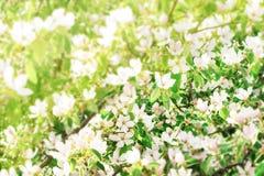 柑橘树关闭开花  背景开花的樱桃接近的花卉日本春天结构树 库存图片
