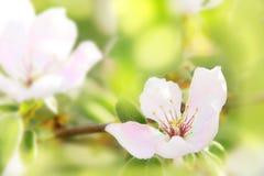 柑橘树关闭开花  背景开花的樱桃接近的花卉日本春天结构树 图库摄影