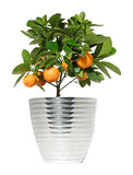 柑橘树 库存图片