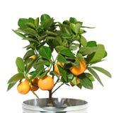 柑橘树 图库摄影