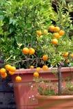 柑橘树 免版税图库摄影