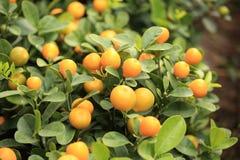 柑橘桔子 免版税库存图片