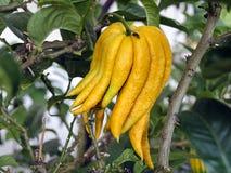 柑橘植物Buddhas手 库存照片
