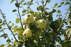 柑橘结构树 库存照片