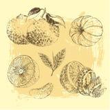柑橘水果剪影的葡萄酒墨水手拉的收藏-柠檬,蜜桔,橙色 库存图片