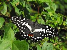 柑橘Swallowtail蝴蝶 免版税图库摄影