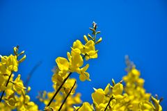 染料木属scorpius、阿利亚加或者金雀花,与豆科植物类家庭的黄色花的灌木在蓝色背景的 免版税库存照片