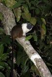 染色无耻的绢毛猴, Saguinis双色双色, 免版税库存图片