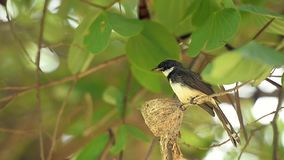 染色杉状尾, Rhipidura javanica,喂养它的巢的自然野生鸟婴孩 股票录像