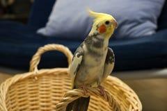 染色的小形鹦鹉 免版税库存图片