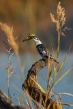 染色的翠鸟 免版税库存图片