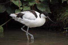 染色的长嘴上弯的长脚鸟 免版税图库摄影