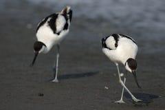 染色的长嘴上弯的长脚鸟 库存图片