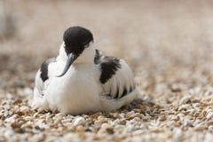 染色的长嘴上弯的长脚鸟 免版税库存照片