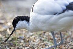 染色的长嘴上弯的长脚鸟 库存照片