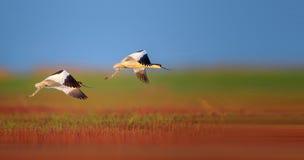 染色的长嘴上弯的长脚鸟 图库摄影