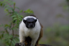 染色绢毛猴 免版税图库摄影