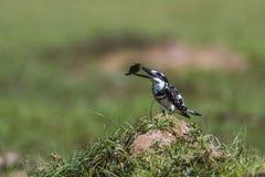 染色翠鸟在Arugam海湾盐水湖,斯里兰卡 库存照片