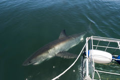 染色者极大的海岛附近的鲨鱼白色 库存图片
