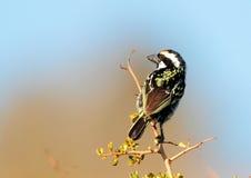 染色金合欢的热带巨嘴鸟 图库摄影