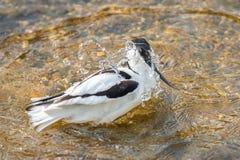 染色长嘴上弯的长脚鸟哺养 图库摄影