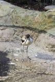 染色长嘴上弯的长脚鸟在马里的西部的Bukle du Baule国家公园 库存照片