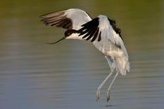 染色长嘴上弯的长脚鸟的着陆 图库摄影