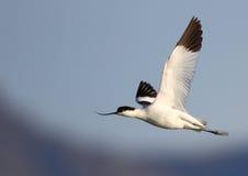 染色长嘴上弯的长脚鸟的飞行 免版税库存照片