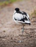 染色长嘴上弯的长脚鸟:睡觉趟水者 免版税库存照片