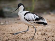 染色长嘴上弯的长脚鸟:走在沙子的趟水者 图库摄影
