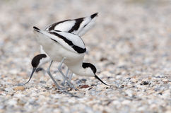 染色长嘴上弯的长脚鸟 免版税库存照片