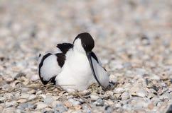 染色长嘴上弯的长脚鸟 图库摄影