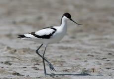 染色长嘴上弯的长脚鸟Recurvirostra avosetta在沙子站立 库存照片