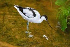 染色长嘴上弯的长脚鸟Recurvirostra avosetta 免版税库存图片