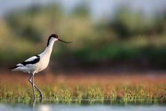 染色长嘴上弯的长脚鸟步行 免版税库存图片