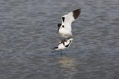 染色长嘴上弯的长脚鸟联接 免版税库存照片