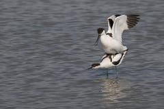 染色长嘴上弯的长脚鸟联接 库存照片