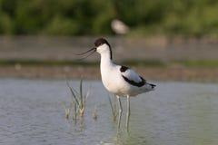 染色长嘴上弯的长脚鸟身分 免版税库存照片