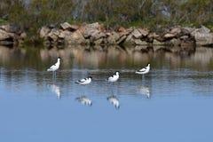 染色长嘴上弯的长脚鸟鸟,海岛马略卡salines  免版税库存照片