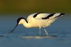 染色长嘴上弯的长脚鸟, Recurvirostra avosetta,在大海,被淹没的头,法国的黑白趟水者鸟 免版税库存照片